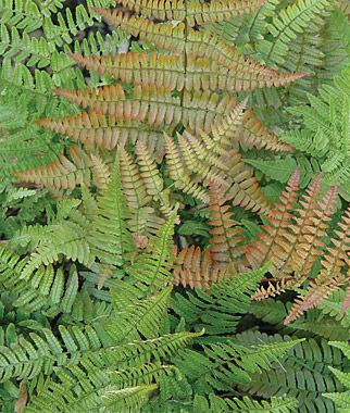 Autumn Fern Seeds and Plants, Perennnial Flowers at Burpee.com