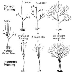 The correct and incorrect way to prune an apple tree. Step-by-step methods of pruning all types of trees at Happy Gardens.