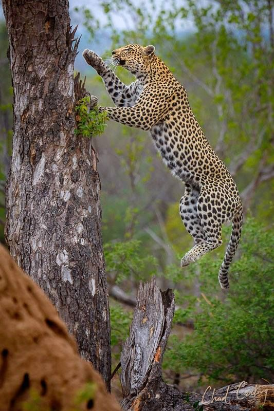 A female leopard hurtles up a marula tree to scan for potential mean in South Africa  by Chad Cocking Wildlife Photography