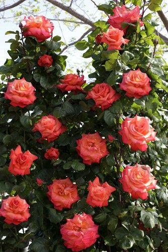 1000 id es sur le th me rosiers grimpants sur pinterest jardin de fleurs roses et jardins blancs - Periode de taille des rosiers ...