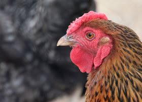 6 Myths Busted about Backyard Chickens -- Community Chickens