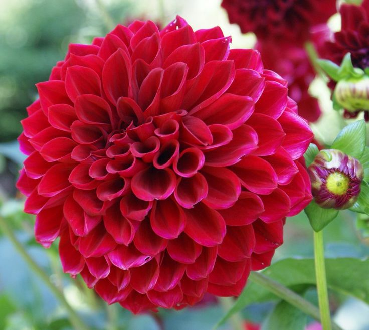 les 25 meilleures idées de la catégorie dalia flor sur pinterest