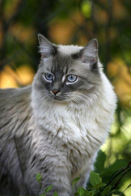 fluffy light gray cat - photo #3