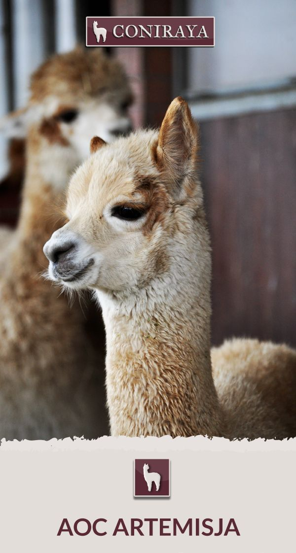Meet Coniraya - AoC Artemisja. This Alpaca was born in 2016 and its fiber is in color: Light Fawn. Check out more details on our site!
