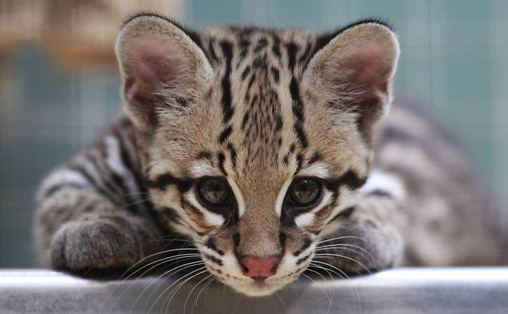 Filhote de jaguatirica é fotografado em zoo alemão