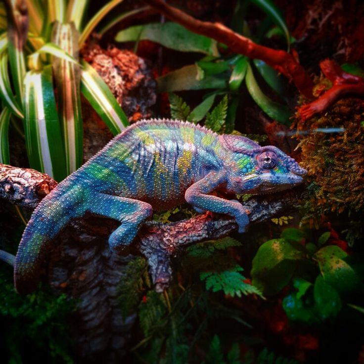 My New Male Designer Nosy Mitsio/blue Bar Ambilobe Panther