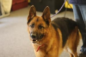Anthem is an adoptable German Shepherd Dog Dog in Glendale, MO. Age: 5 Years Old Anthem has just been put into our Puppies for Parole Program at the Farmington Correctional Center. Dogs put into this ...