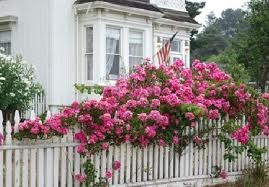 Cottage roses.