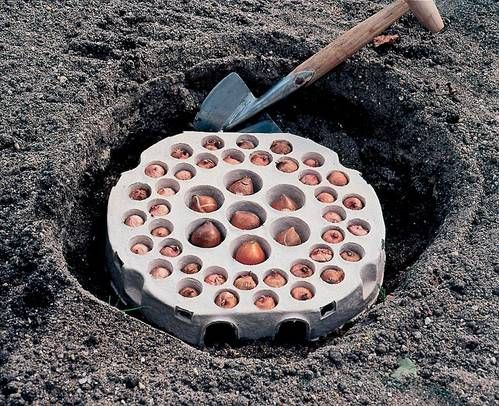 13 best images about Gardening Bulbs on Pinterest