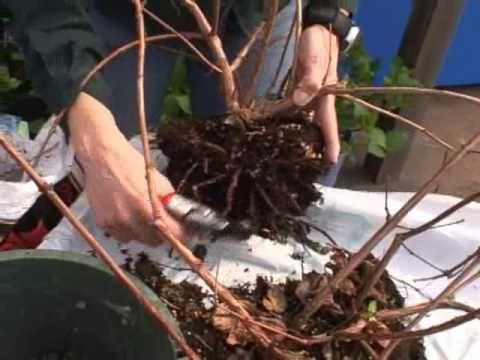Fuchsia Plant Care Guide   Dengarden