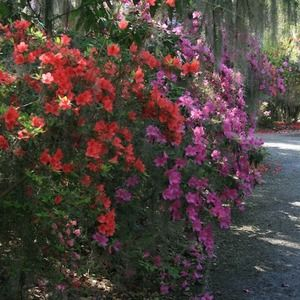 Magnolia Plantation   10 Best Charleston Plantations via @USATODAY @10Best   History Lives: Visit Charleston's Antebellum Plantations to Picnic, Explore and Learn http://www.10best.com/destinations/south-carolina/charleston/attractions/plantations/
