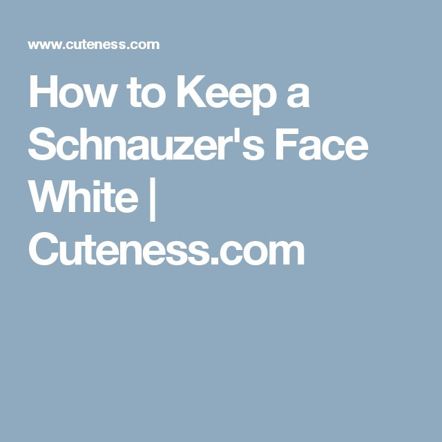 How to Keep a Schnauzer's Face White | Cuteness.com