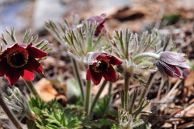 흐르는 강물처럼.. :: 한국의 야생화(69) - 할미꽃