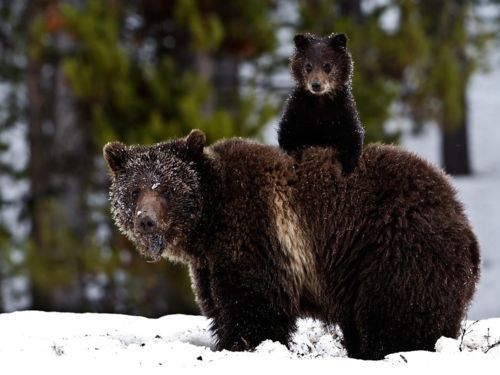 :): Animals, Mother, Creatures, Wildlife, Cubs, Baby Bears, Grizzly Bears, Mom