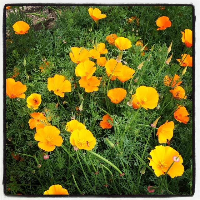 Wunderschöner Kalifornischer Mohn (Eschscholzia californica), der auch in der beetballs Summer in the City Mischung enthalten ist
