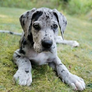 Great Dane puppy... I want one