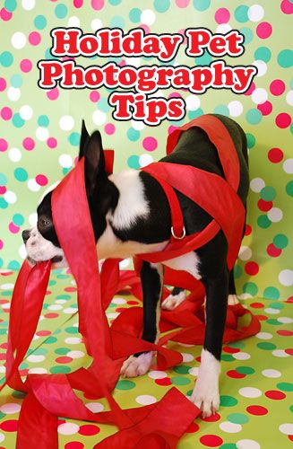 Holiday Pet Photography Tips (for your Christmas Card photo shoots!) via guest poster @Jamie Ritchie