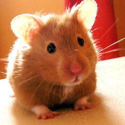 long+haired+syrian+hamster | Syrian Hamsters