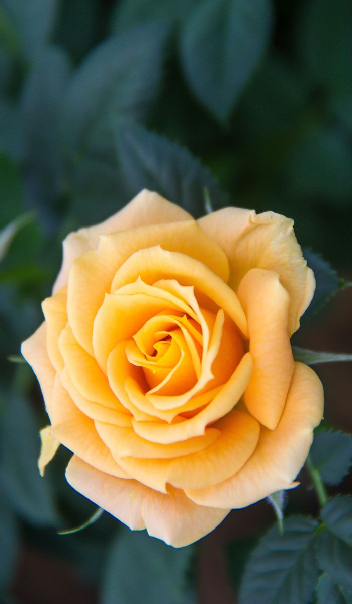10 images about beautiful flowers wallpapers pictures pc - Yellow rose images hd ...