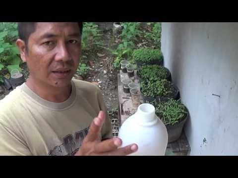 Cara Mencegah dan Membasmi Hama Tanaman Cabe dan Sayuran Organik dengan Pestisida Alami - YouTube