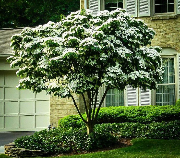 Buy White Kousa Dogwood Online. Arrive Alive Guarantee. Free Shipping On All Orders Over $99. Immediate Delivery.