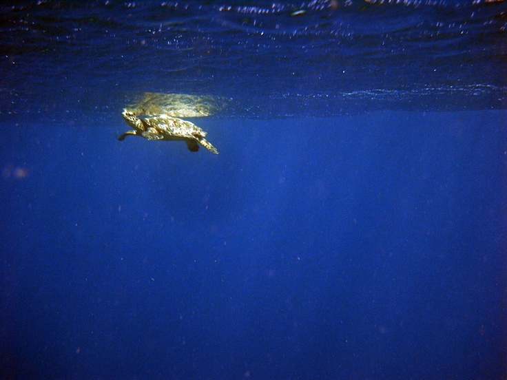 Turtle taking a breath -Diversia Diving Gili Trawangan Lombok Indonesia