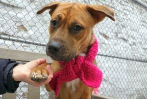 IVY aka CHLOE aka DIVYA – A1085780  ***RETURNED 12/24/16***after 2 months  !!!! Unfortunately there is no cure for stupidity!   SPAYED FEMALE, BROWN / BLACK, BLACK MOUTH CUR / GERM SHEPHERD, 1 yr, 4 mos STRAY – STRAY WAIT, HOLD FOR ID Reason COST Intake condition UNSPECIFIE Intake Date 12/24/2016, From NY 10453, DueOut Date 12/27/2016