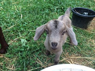 Goats Gone Grazing Acres: Goats, Goats, and More Goats