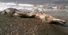 Garden City, Utah| The remains of a large unidentified creature resembling a dinosaur,were found this morning on the western shore of Bear Lake, giving rise to many rumors concerning the legendary monster associated with the site. The decomposed remains were found by a couple of locals who were wa