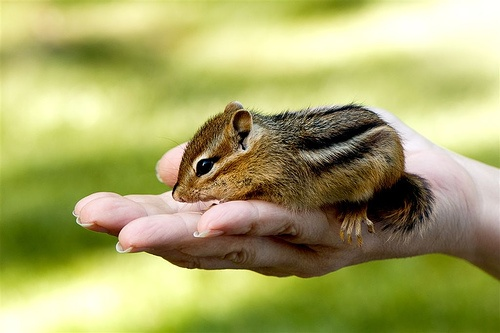 Chipmunk!Favorite Things, Animal Birds Insects, Animal Baby, Future Pets, Baby Animal, Animal Desktop, Resolutions Animal, Animal Lovin, Baby Chipmunks