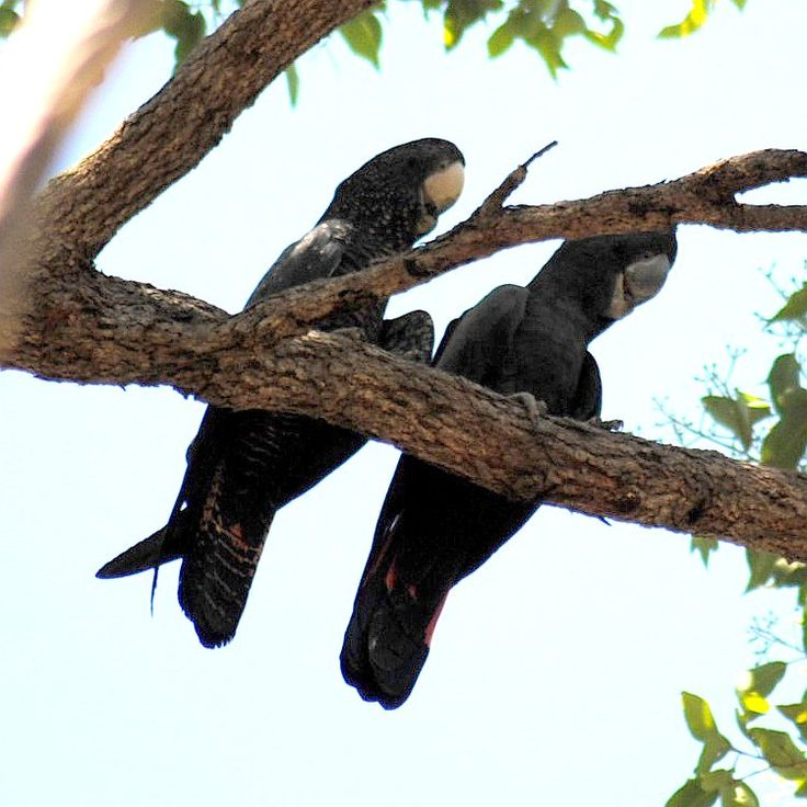 A pair of Red-tailed Black-Cockatoos; male on the right, female on the left.