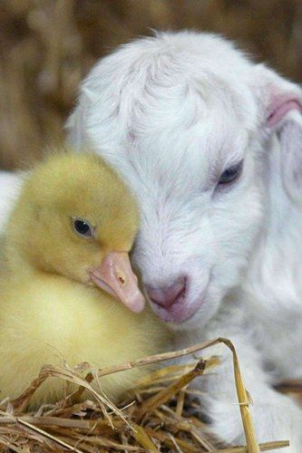 It's puppy love between a baby goat and duckling.