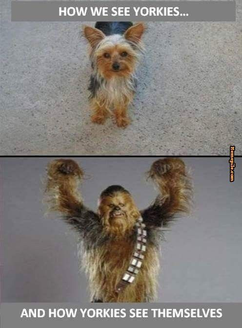 How Yorkies see themselves? I suppose there is a resemblance there!
