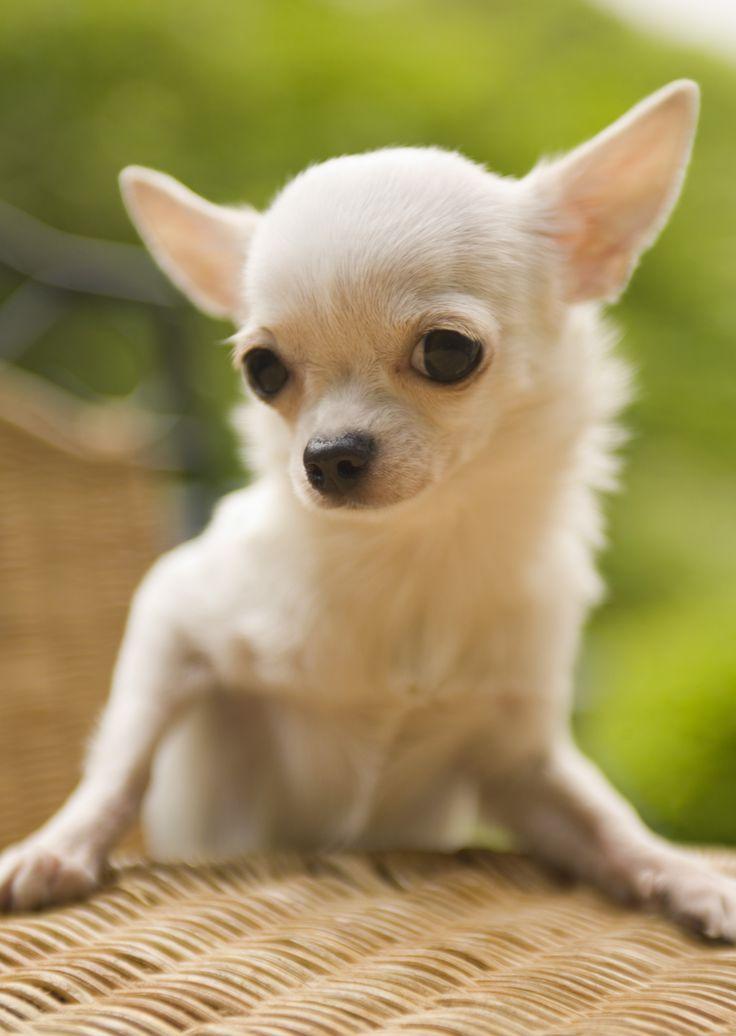 Dog Face Dog Eye Funny Animal Desktop Wallpape Chihuahua White Dog ...