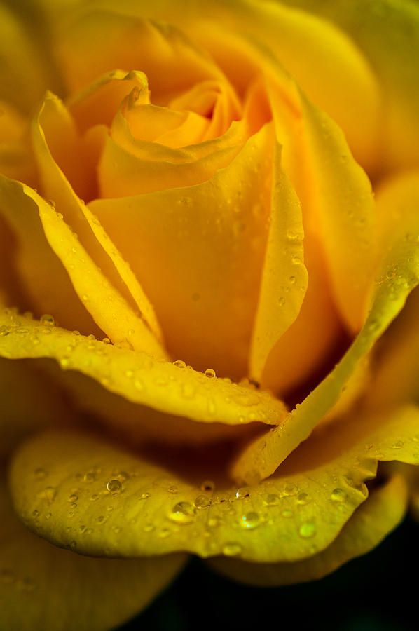 Yellow Garden Queen. Yellow Rose by Jenny Rainbow