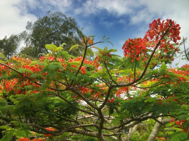 Royal Poinciana tree at 480 Hoolawa Road, Haiku Maui HI 96708