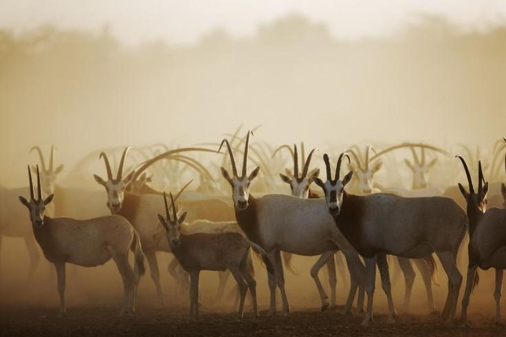 Antilopen, Gazellen, Berberschafe, Geparde und Hyänen gehören zu den Bewohnern der größten Insel Abu Dhabis im Nordwesten des Emirats: Sir Bani Yas. Sheich Zayed Bin Sultan Al Nahyan verwandelte das ehemals karge Eiland in ein blühendes Naturparadies und ein riesiges Schutzreservat.