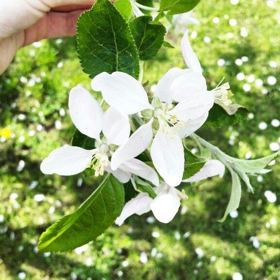#perfecthome #spring #flowers #amazing #beautiful #perfect #nature #tree #white #walk #freetime