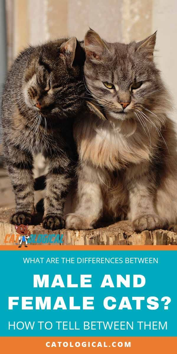 The Differences Between Male And Female Cats How To Tell Cat
