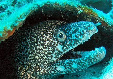 spotted moray, Acapulco, Guerrero