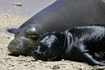 monk seals: now only 1,100 left