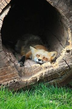 cute fox sleeping in a tree trunk
