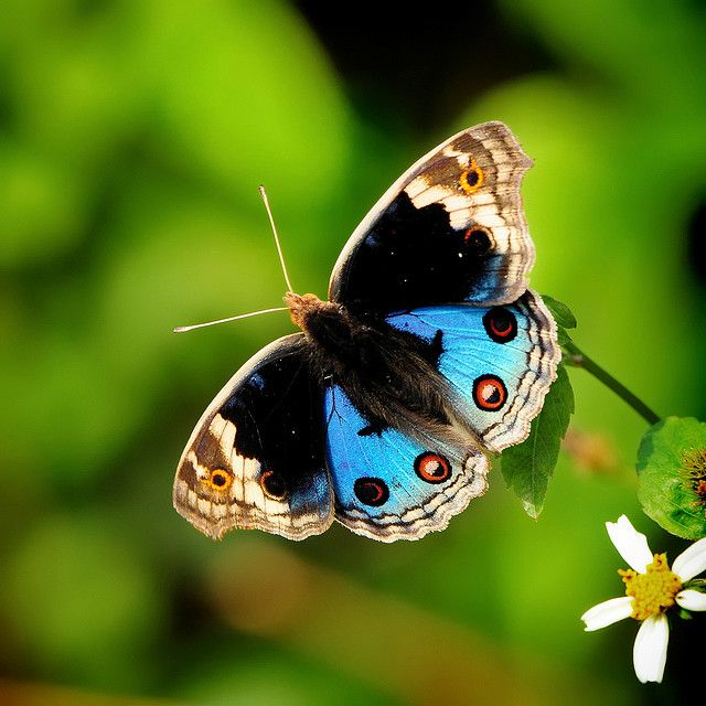 Junonia orithya ... One of the most popular butterflies but its  beauty under the sunshine is still stunning.