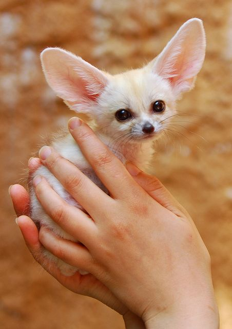 Fennec fox- this one is real and not a photoshopped kitten, it is a   fox, and not hare