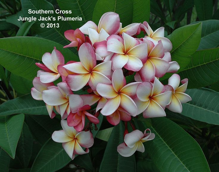 southern cross one of our standard plumerias  it blooms blooms adventskalender gewinnspiel blooms weihnachtstrends 2018