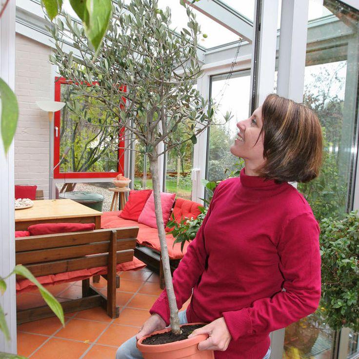 Olivenbaum Archive Mein Mediterraner Garten Mediterrane Pflanzen Mediterraner Garten Garten Pflanzen