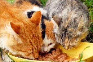 Maak kattenvoer zelf: Vis Recepten