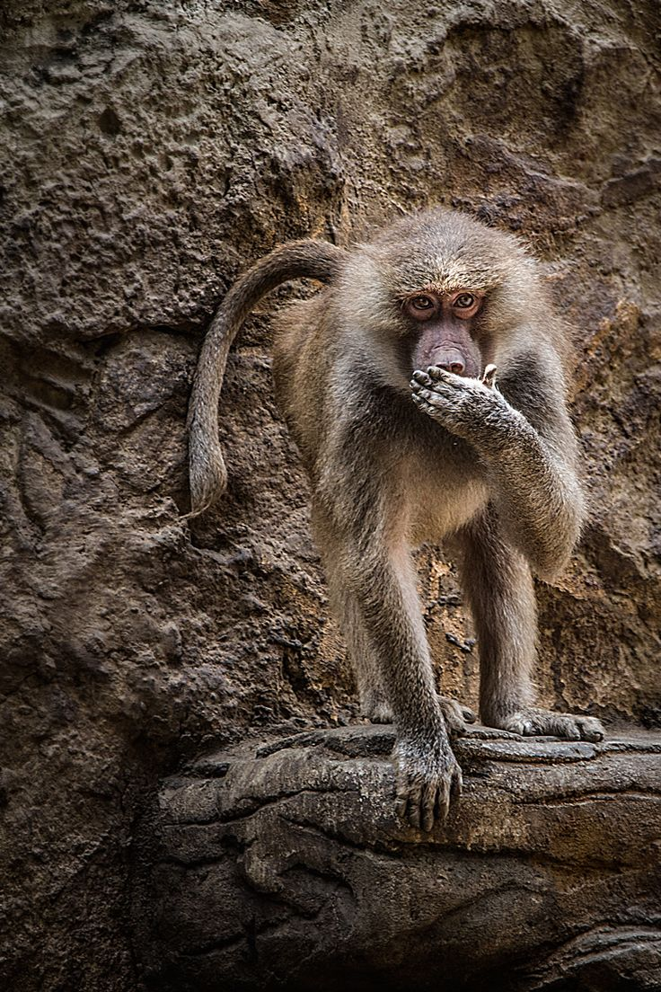 #thephotosociety #monkey #saveanimals #papio #hamadriade #primate