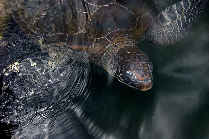 Satin and Light Green Sea Turtles - http://art-worx.com/catalog/product/view/id/66  #photographs #animalpresence