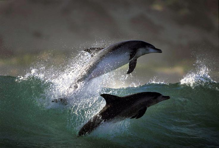 Amvrakikos gulf – Αμβρακικός κόλπος, δελφίνια